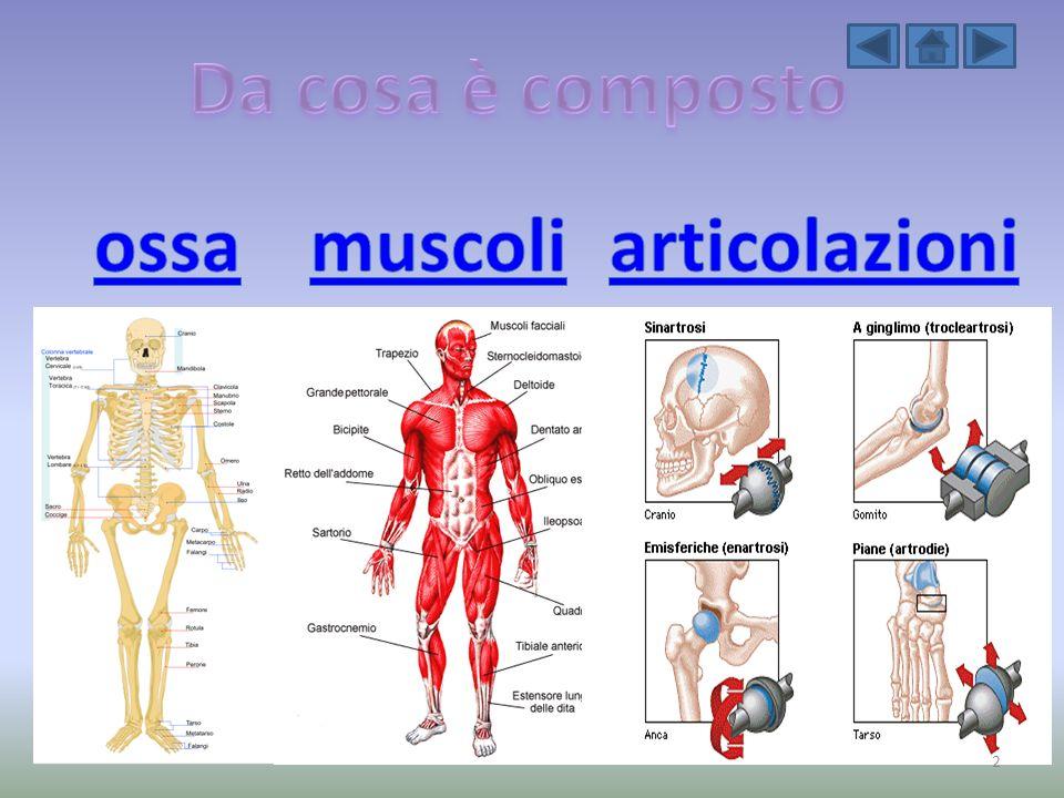 Da cosa è composto ossa muscoli articolazioni
