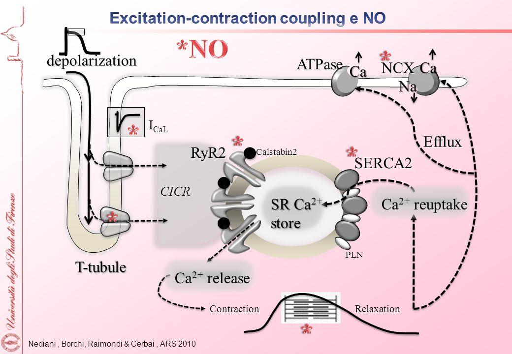 *NO * * * * * * Excitation-contraction coupling e NO depolarization