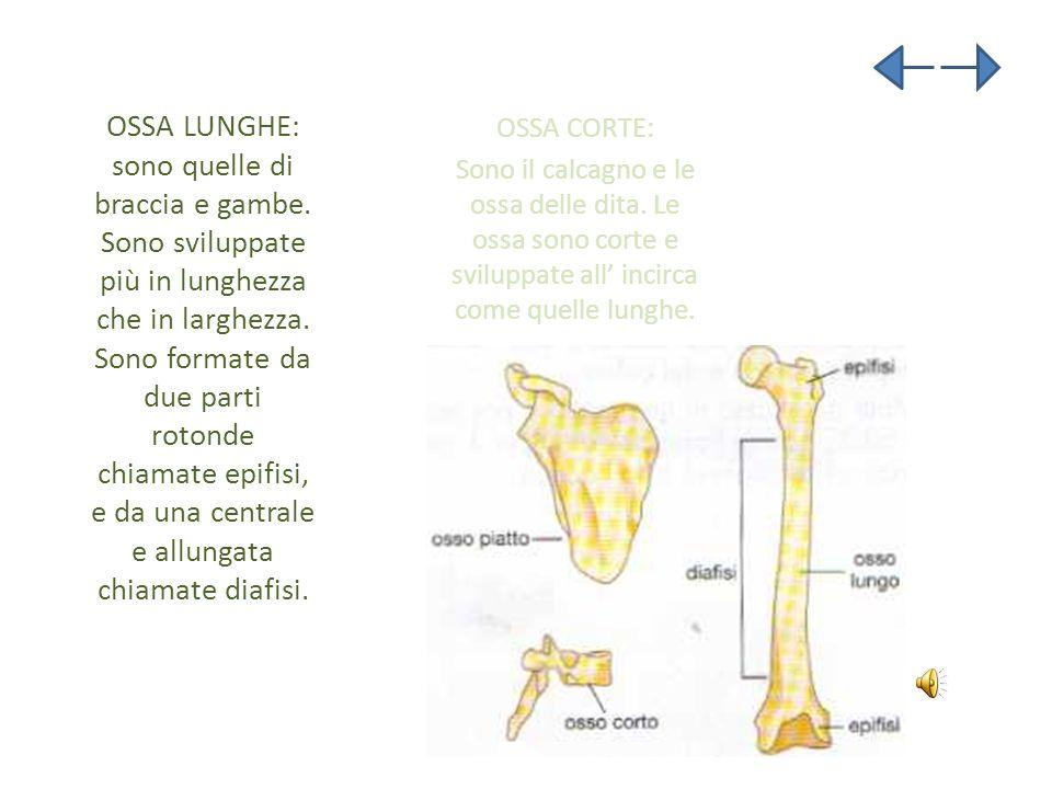 OSSA LUNGHE: sono quelle di braccia e gambe