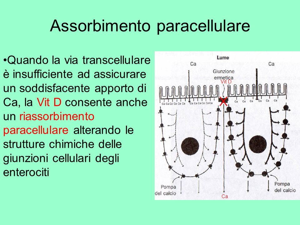 Assorbimento paracellulare