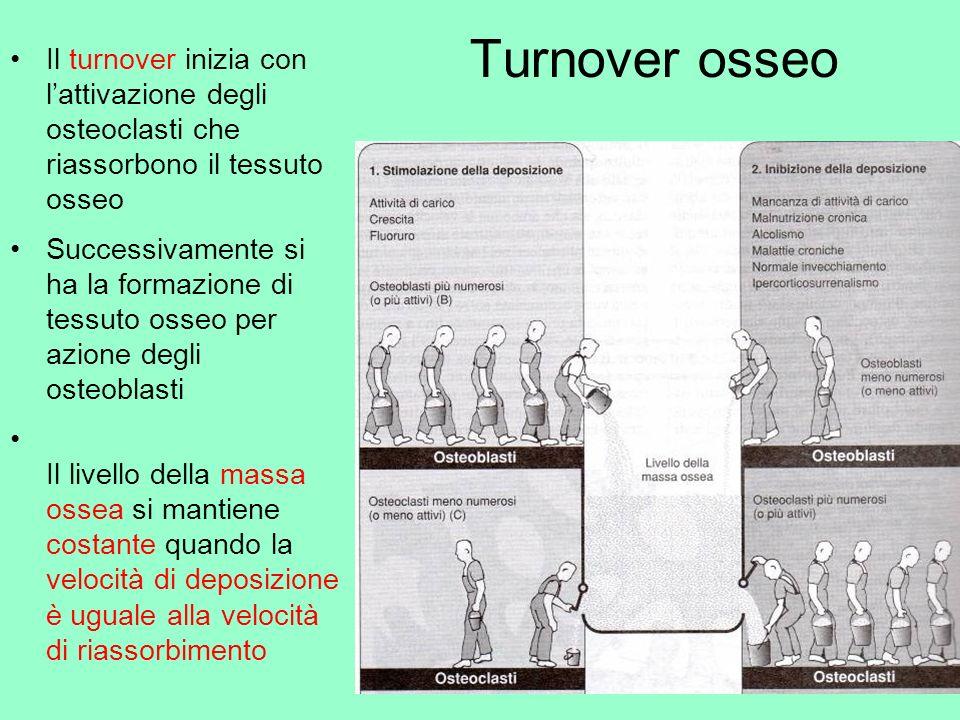Turnover osseo Il turnover inizia con l'attivazione degli osteoclasti che riassorbono il tessuto osseo.