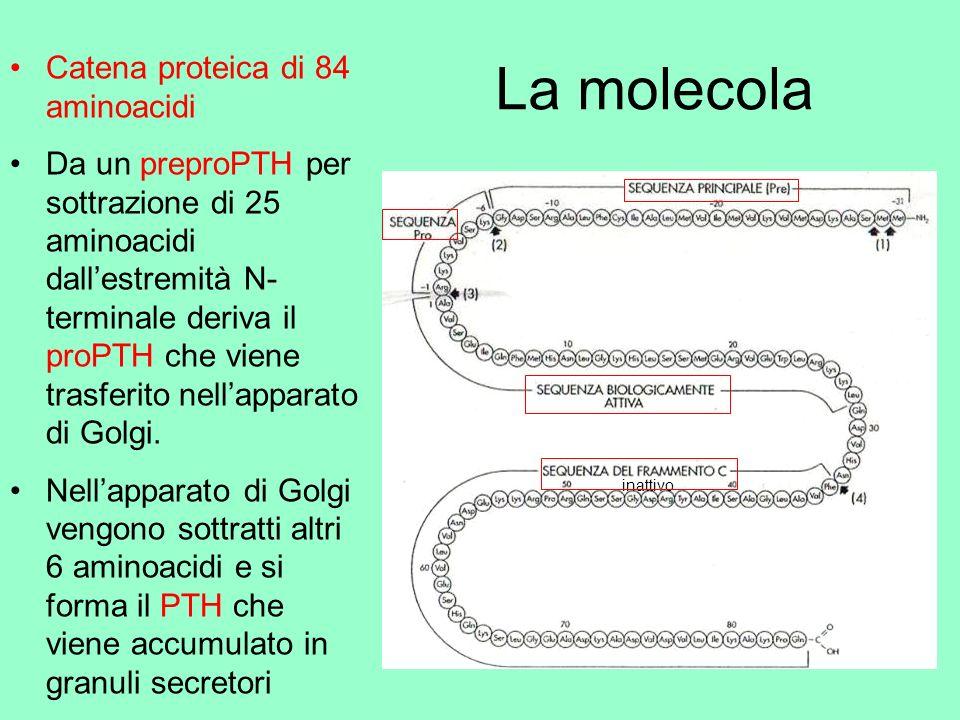 La molecola Catena proteica di 84 aminoacidi