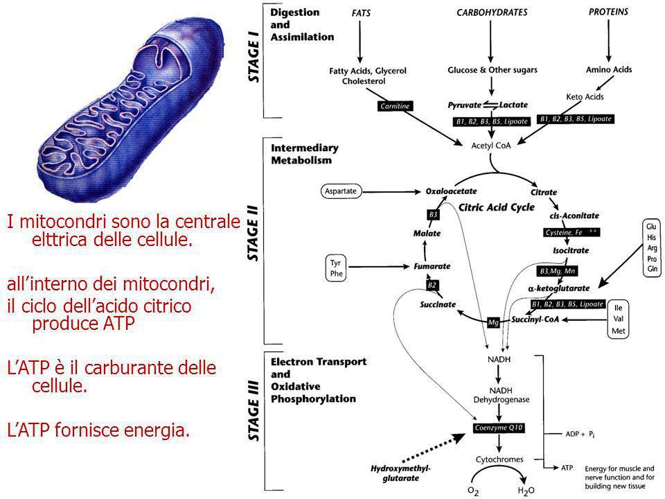 I mitocondri sono la centrale elttrica delle cellule.