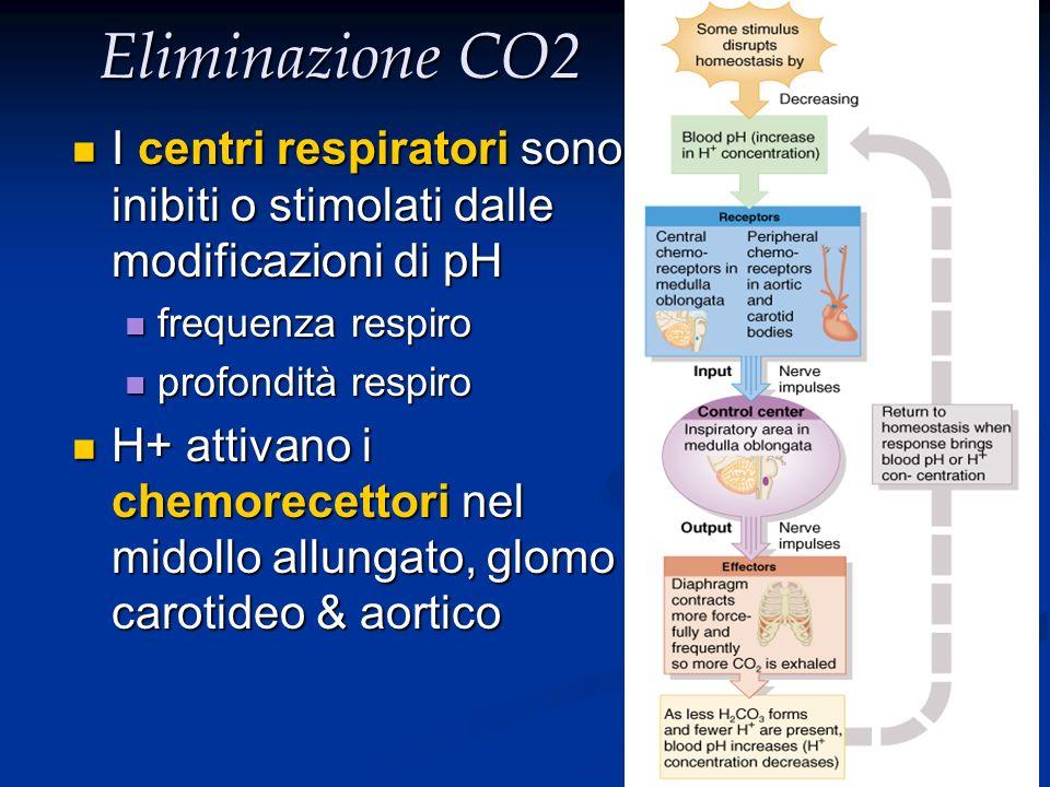 Eliminazione CO2 I centri respiratori sono inibiti o stimolati dalle modificazioni di pH. frequenza respiro.