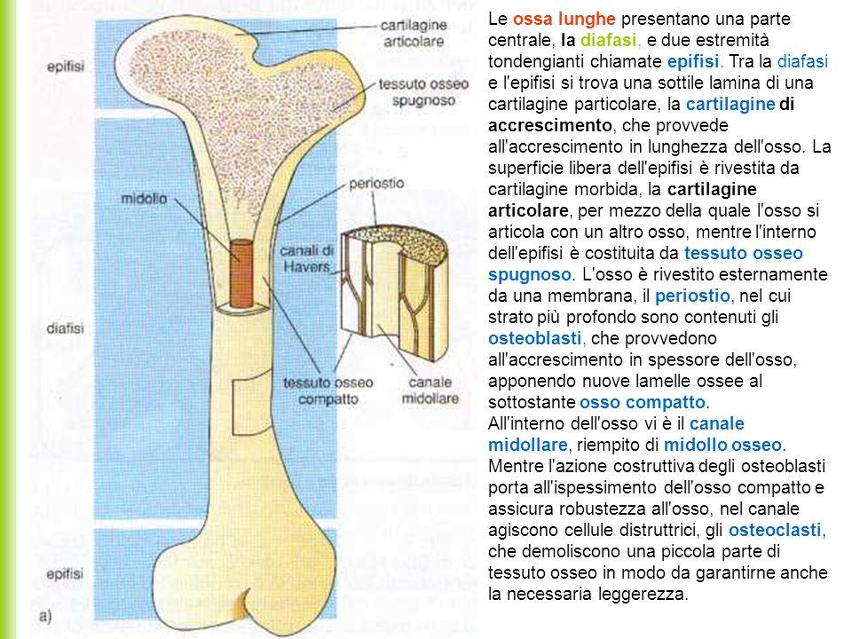 Le ossa lunghe presentano una parte centrale, la diafasi, e due estremità tondengianti chiamate epifisi. Tra la diafasi e l epifisi si trova una sottile lamina di una cartilagine particolare, la cartilagine di accrescimento, che provvede all accrescimento in lunghezza dell osso. La superficie libera dell epifisi è rivestita da cartilagine morbida, la cartilagine articolare, per mezzo della quale l osso si articola con un altro osso, mentre l interno dell epifisi è costituita da tessuto osseo spugnoso. L osso è rivestito esternamente da una membrana, il periostio, nel cui strato più profondo sono contenuti gli osteoblasti, che provvedono all accrescimento in spessore dell osso, apponendo nuove lamelle ossee al sottostante osso compatto.