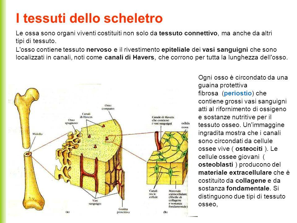 I tessuti dello scheletro