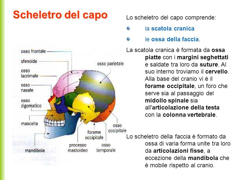 Scheletro del capo Lo scheletro del capo comprende: la scatola cranica