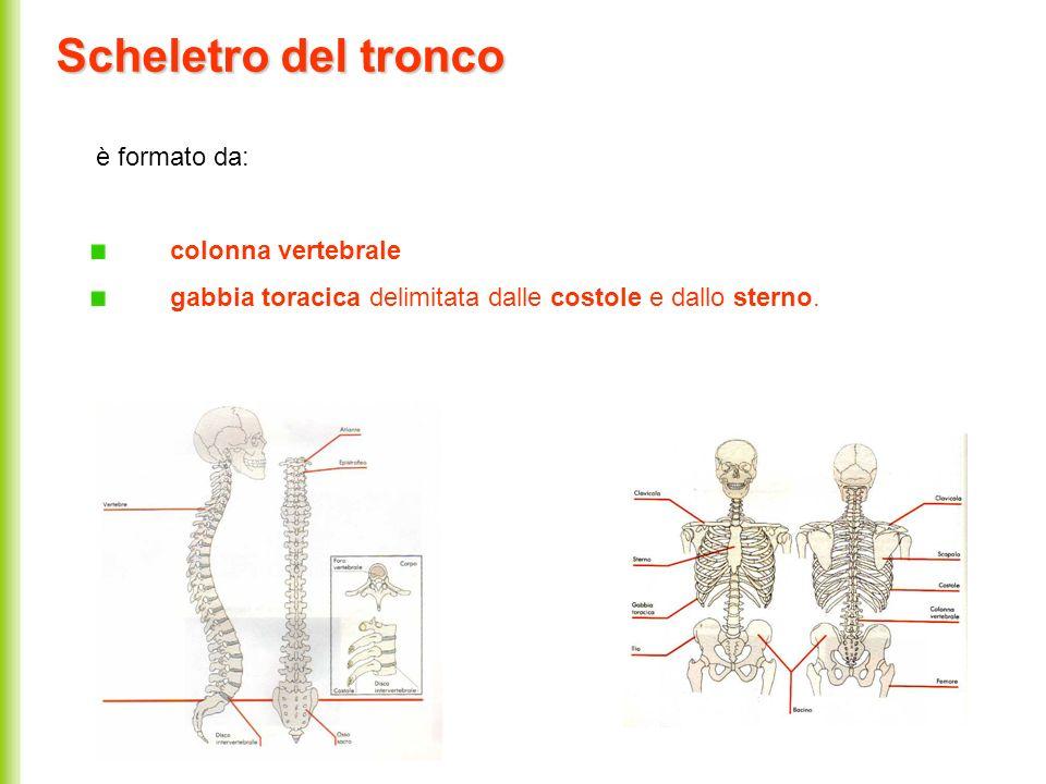 Scheletro del tronco è formato da: colonna vertebrale