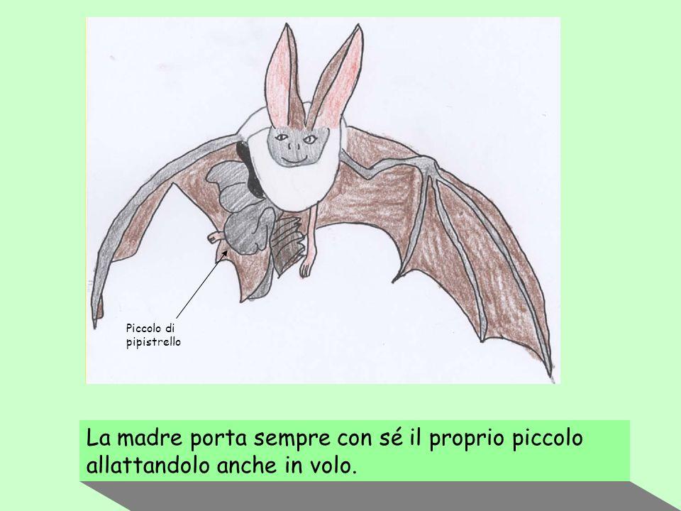Piccolo di pipistrello