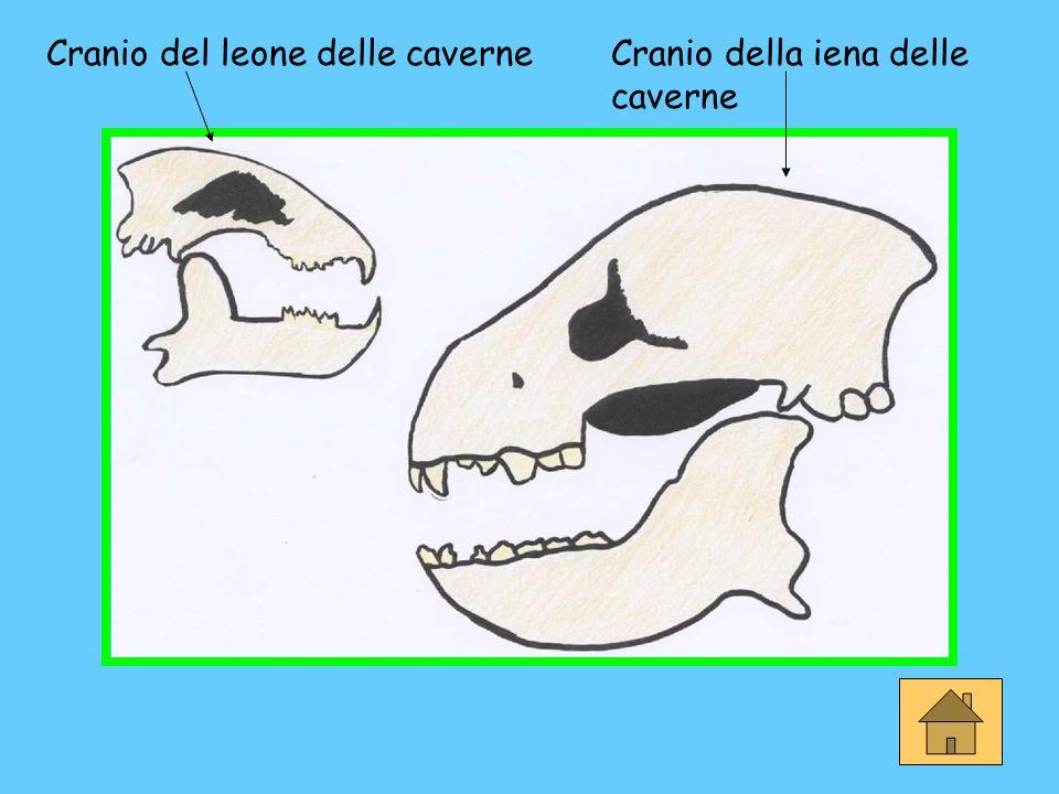 Cranio del leone delle caverne