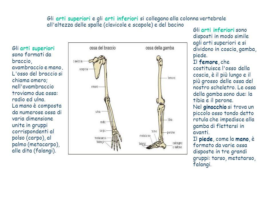 Gli arti superiori e gli arti inferiori si collegano alla colonna vertebrale all altezza delle spalle (clavicole e scapole) e del bacino