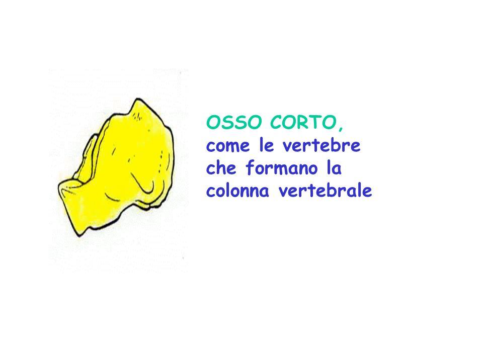 OSSO CORTO, come le vertebre che formano la colonna vertebrale
