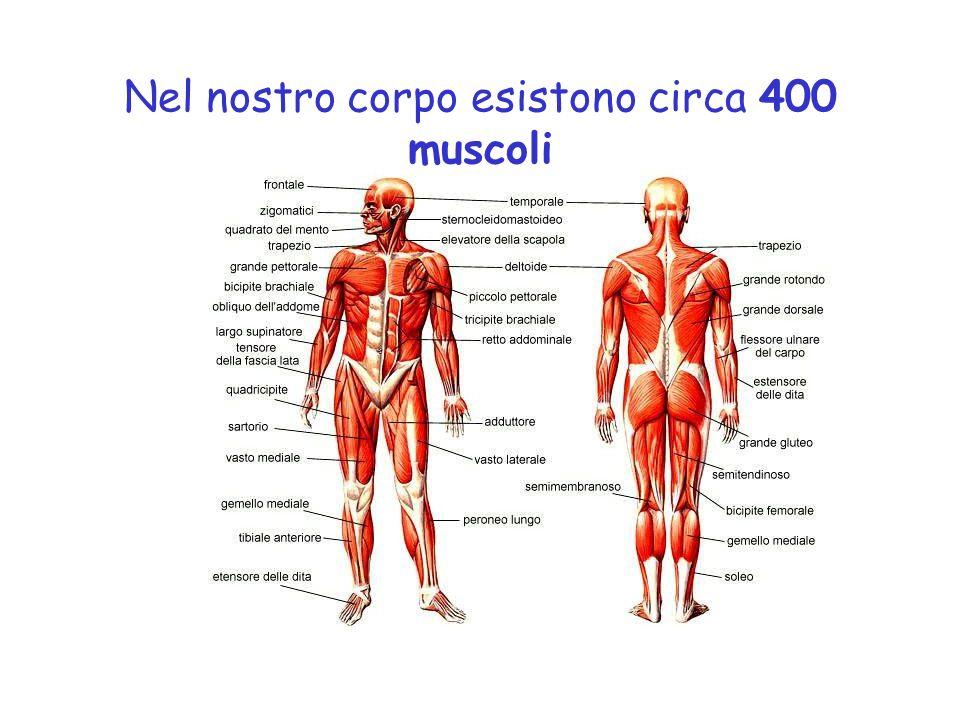 Nel nostro corpo esistono circa 400 muscoli