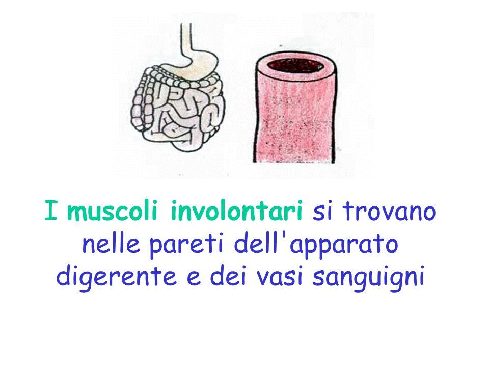 I muscoli involontari si trovano nelle pareti dell apparato digerente e dei vasi sanguigni