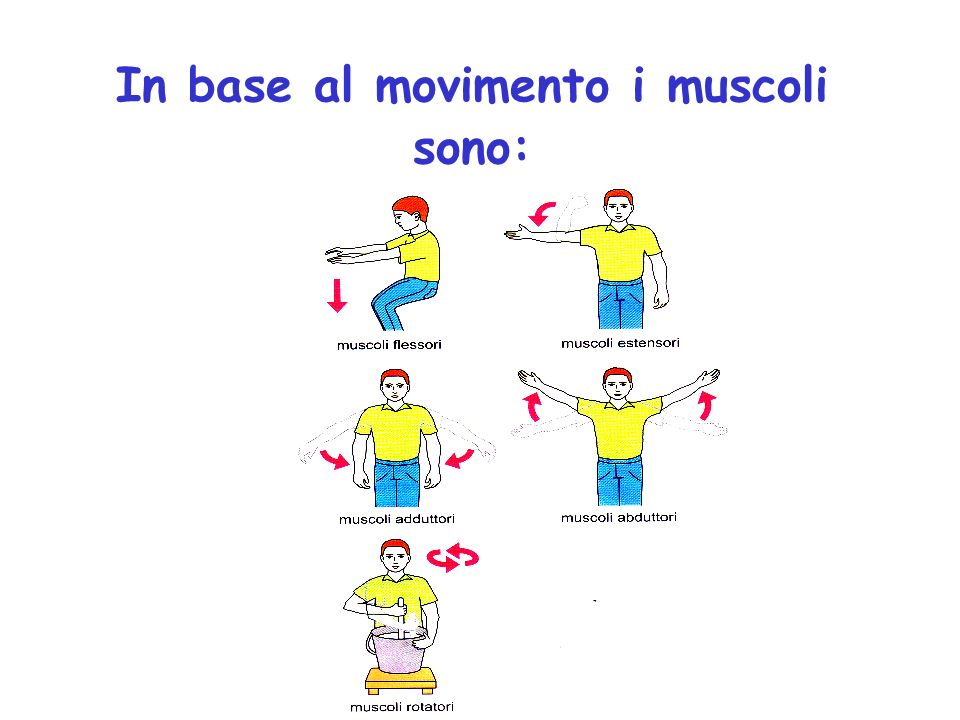 In base al movimento i muscoli sono: