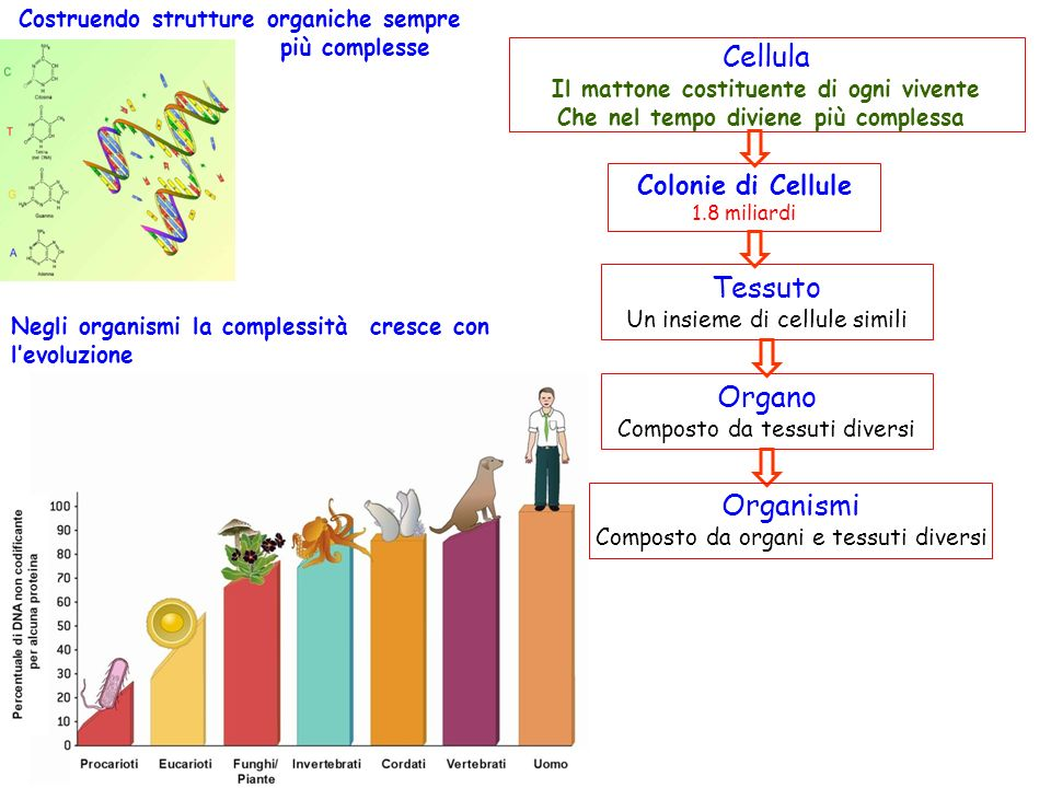 Cellula Tessuto Organo Organismi Colonie di Cellule