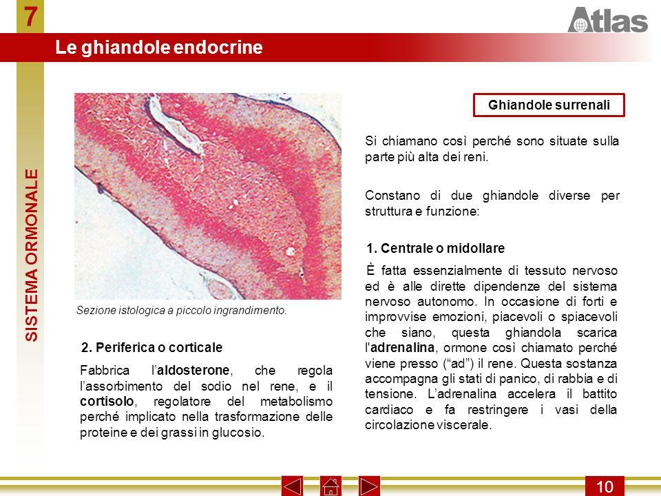 7 Le ghiandole endocrine SISTEMA ORMONALE 10 Ghiandole surrenali