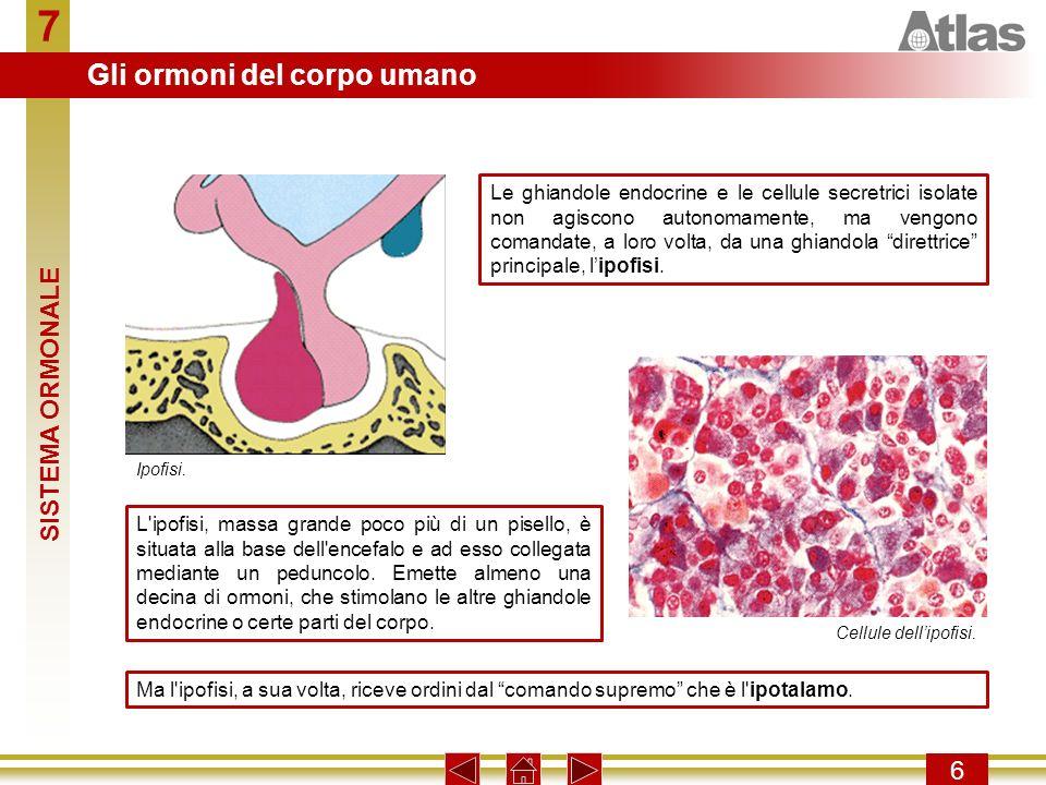 7 Gli ormoni del corpo umano SISTEMA ORMONALE 6