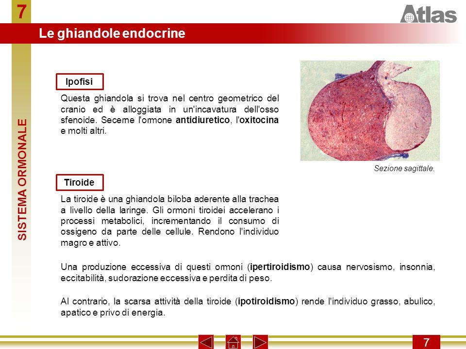 7 Le ghiandole endocrine SISTEMA ORMONALE 7 Ipofisi