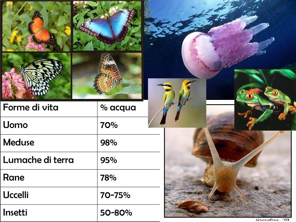 Forme di vita % acqua. Uomo. 70% Meduse. 98% Lumache di terra. 95% Rane. 78% Uccelli. 70-75%