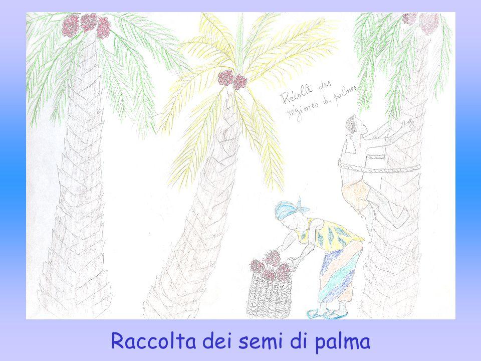Raccolta dei semi di palma