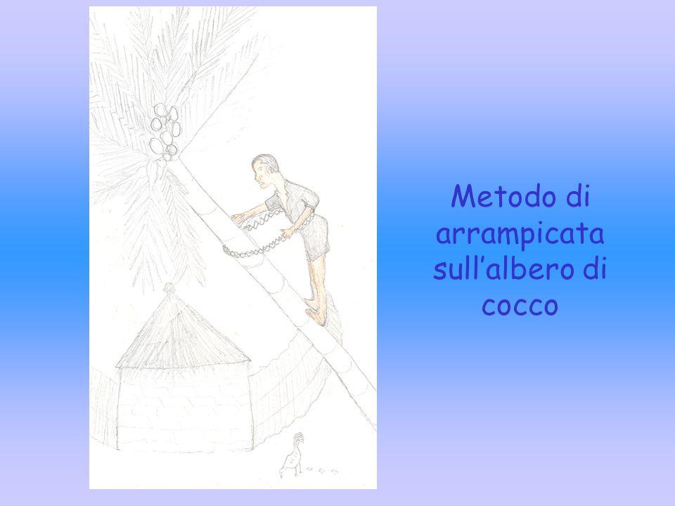 Metodo di arrampicata sull'albero di cocco