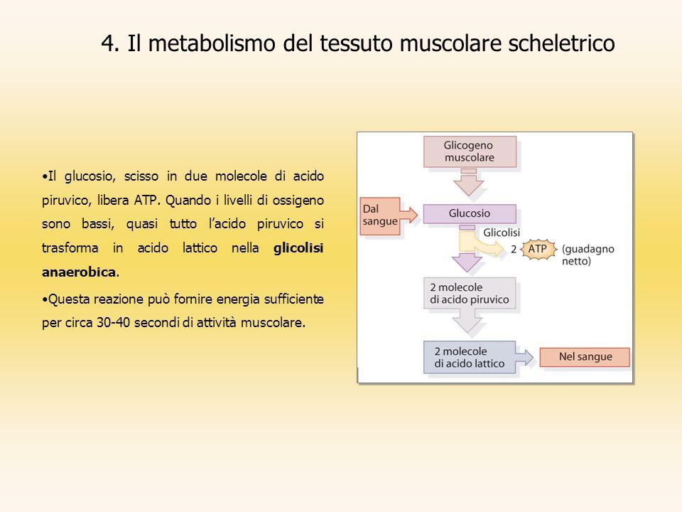 4. Il metabolismo del tessuto muscolare scheletrico