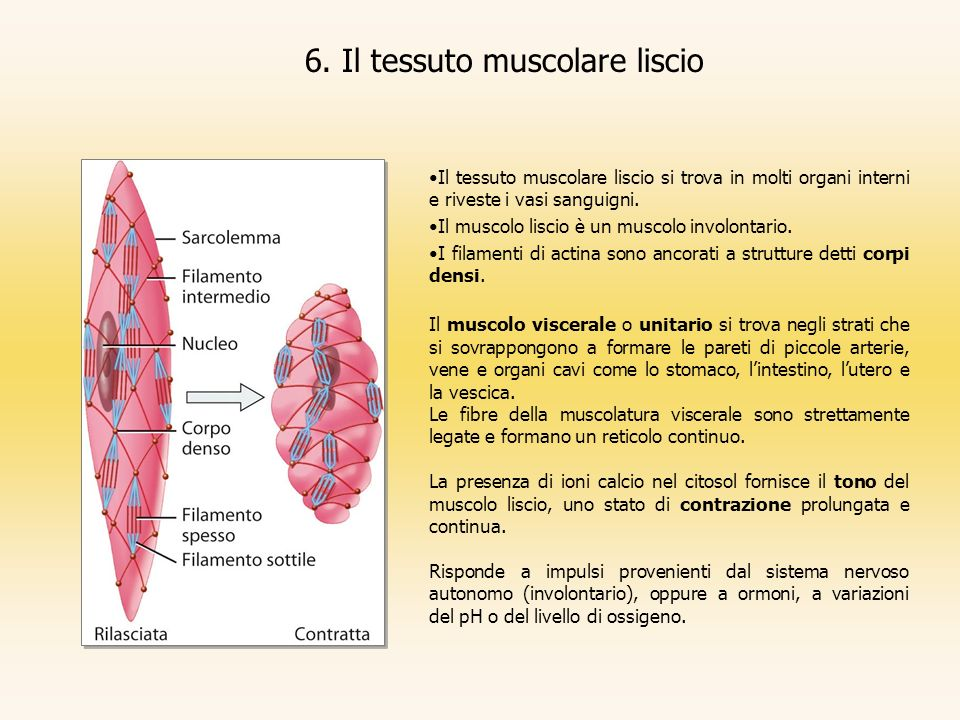 6. Il tessuto muscolare liscio