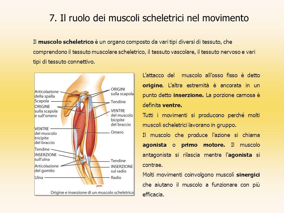 7. Il ruolo dei muscoli scheletrici nel movimento