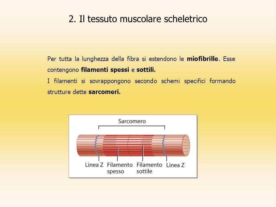 2. Il tessuto muscolare scheletrico