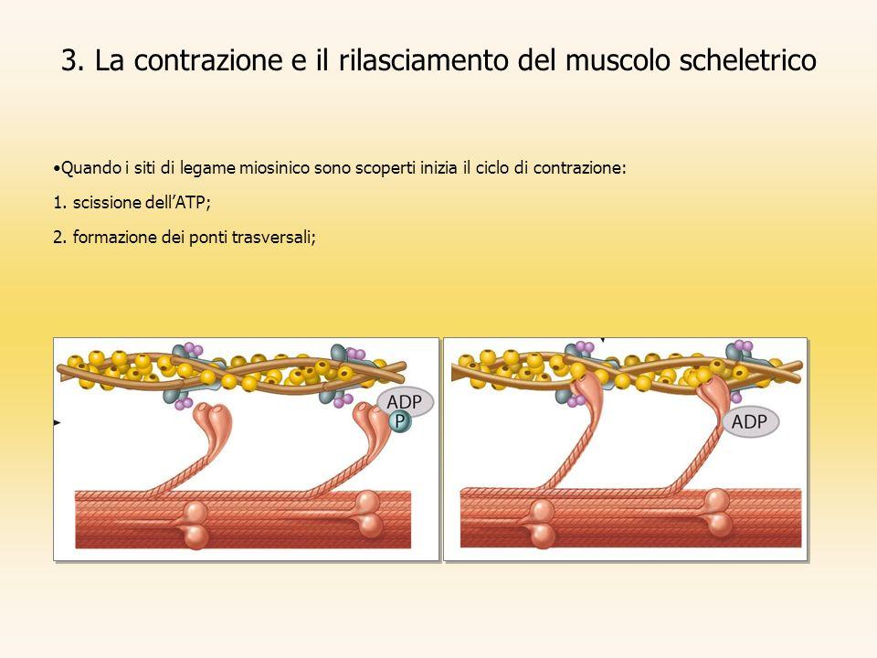 3. La contrazione e il rilasciamento del muscolo scheletrico