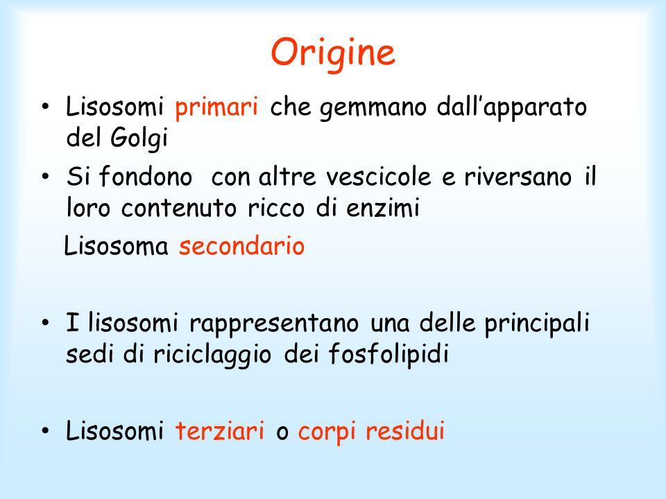 Origine Lisosomi primari che gemmano dall'apparato del Golgi