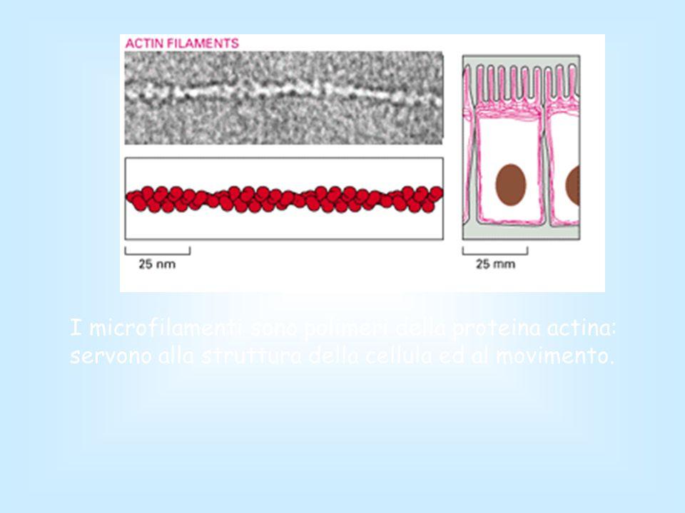 I microfilamenti sono polimeri della proteina actina: servono alla struttura della cellula ed al movimento.