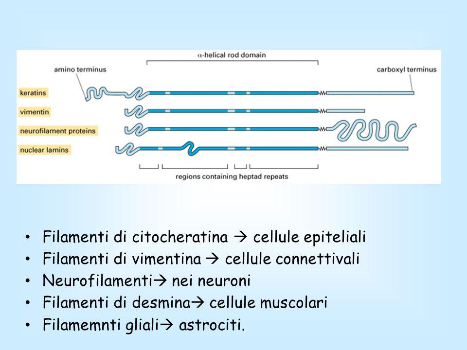 Filamenti di citocheratina  cellule epiteliali