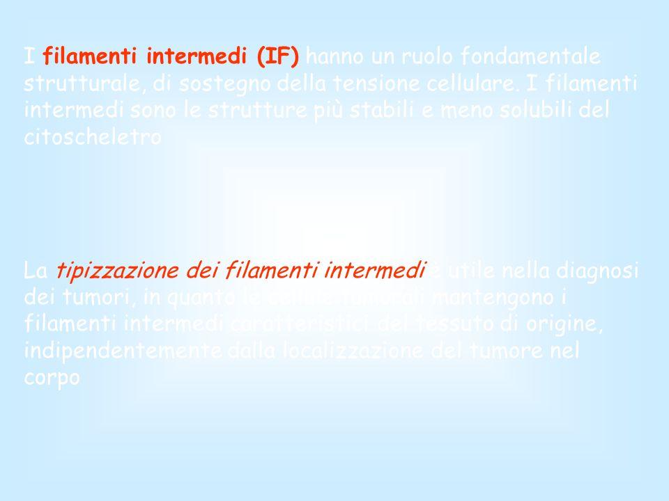 I filamenti intermedi (IF) hanno un ruolo fondamentale strutturale, di sostegno della tensione cellulare. I filamenti intermedi sono le strutture più stabili e meno solubili del citoscheletro