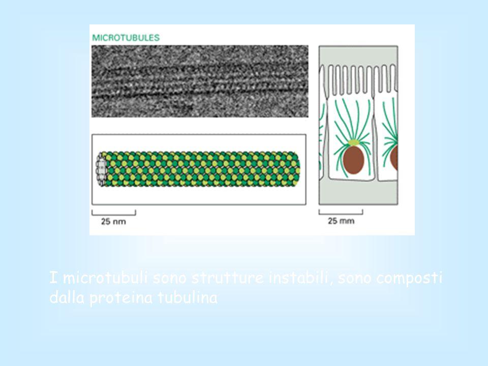 I microtubuli sono strutture instabili, sono composti dalla proteina tubulina