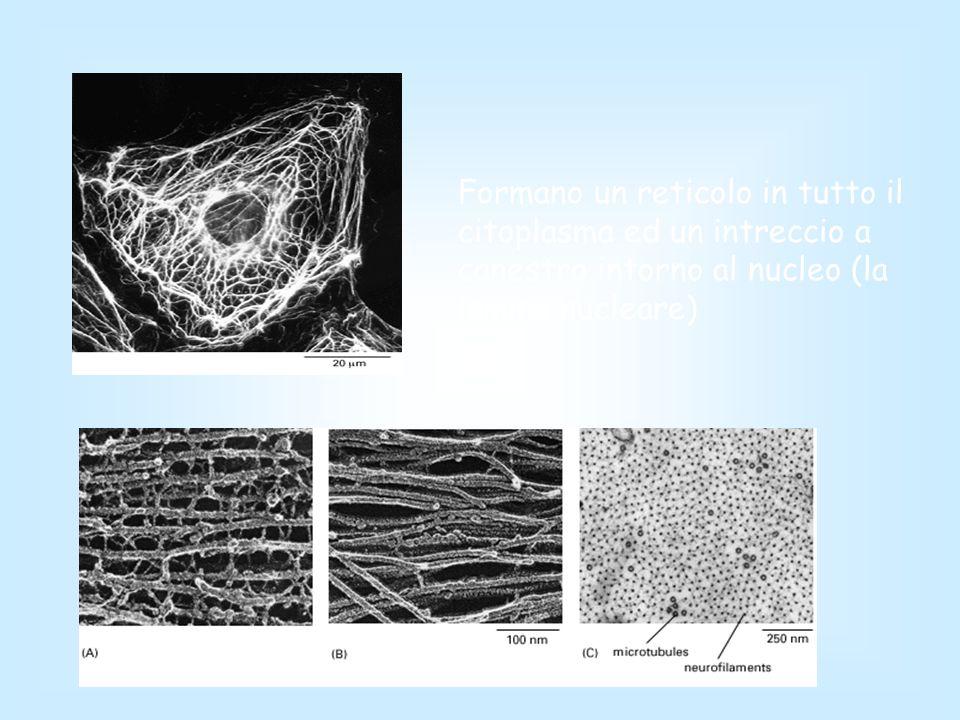 Formano un reticolo in tutto il citoplasma ed un intreccio a canestro intorno al nucleo (la lamina nucleare)
