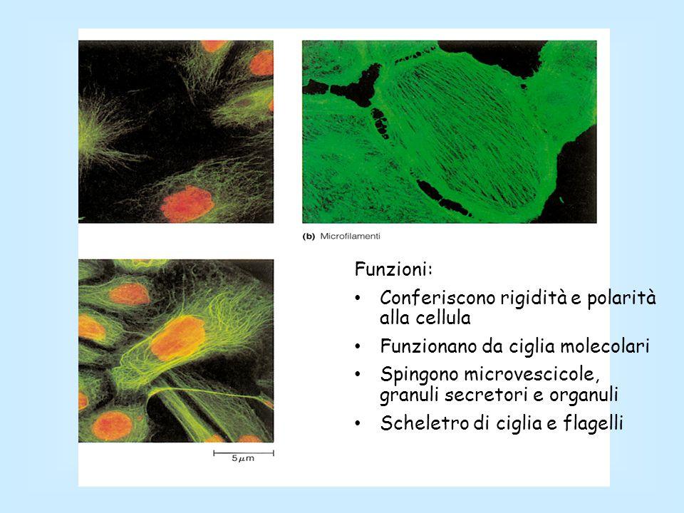 Funzioni: Conferiscono rigidità e polarità alla cellula. Funzionano da ciglia molecolari. Spingono microvescicole, granuli secretori e organuli.