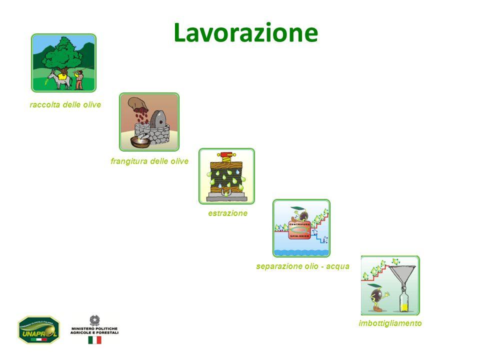 Lavorazione raccolta delle olive frangitura delle olive estrazione