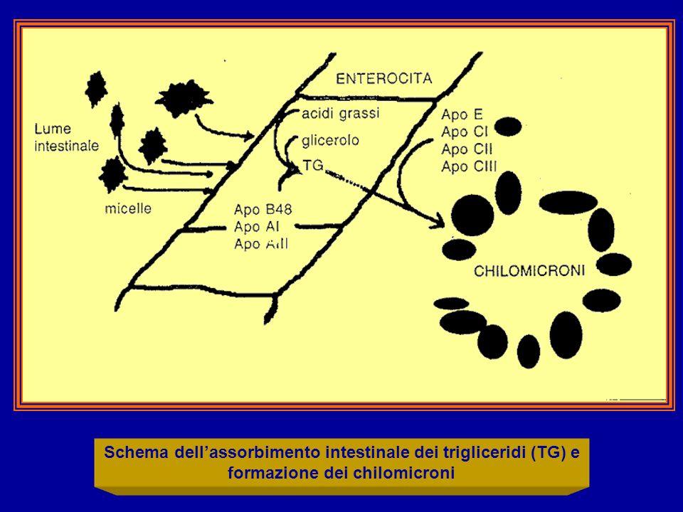 Schema dell'assorbimento intestinale dei trigliceridi (TG) e formazione dei chilomicroni