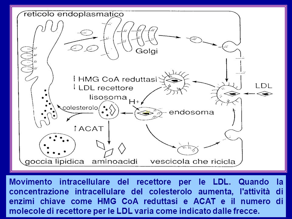 Movimento intracellulare del recettore per le LDL