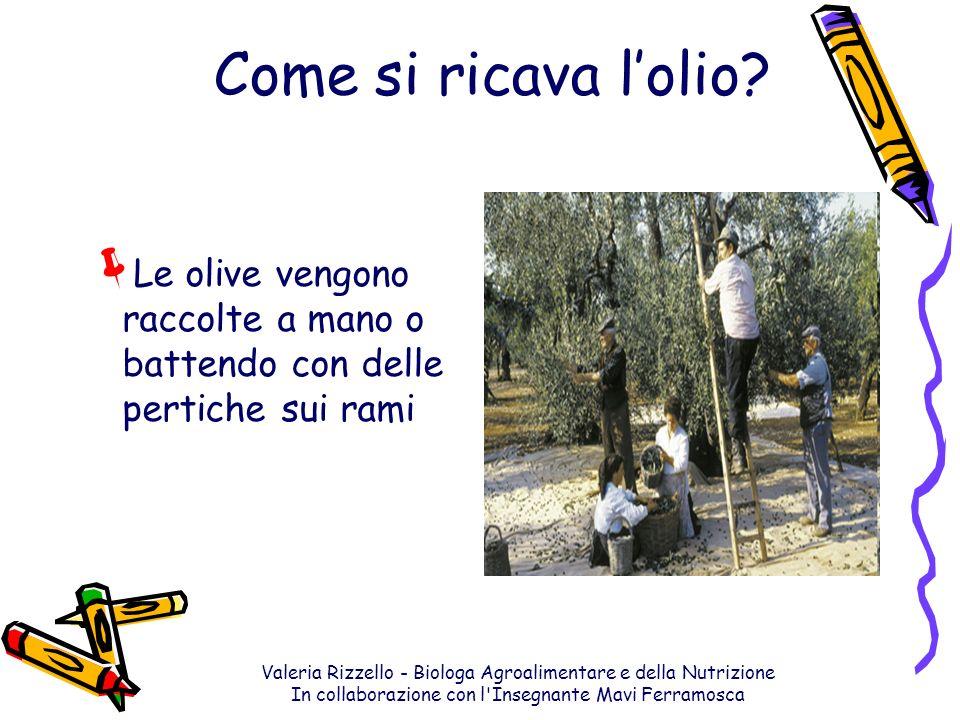 Come si ricava l'olio Le olive vengono raccolte a mano o battendo con delle pertiche sui rami.