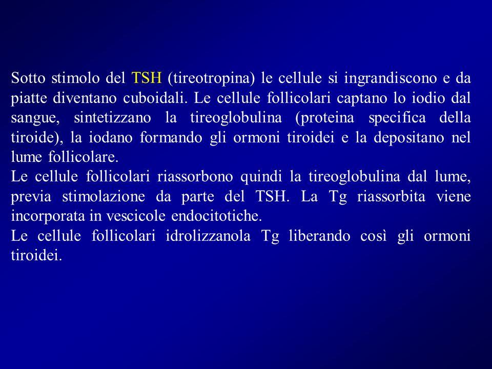 Sotto stimolo del TSH (tireotropina) le cellule si ingrandiscono e da piatte diventano cuboidali. Le cellule follicolari captano lo iodio dal sangue, sintetizzano la tireoglobulina (proteina specifica della tiroide), la iodano formando gli ormoni tiroidei e la depositano nel lume follicolare.