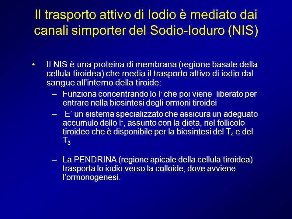 Il trasporto attivo di Iodio è mediato dai canali simporter del Sodio-Ioduro (NIS)