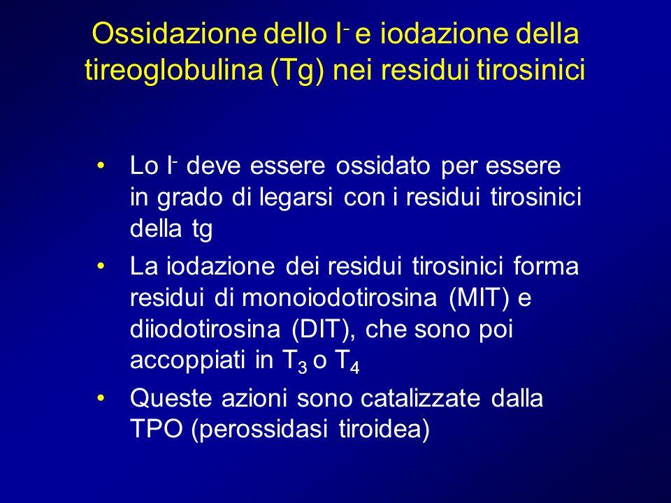 Ossidazione dello I- e iodazione della tireoglobulina (Tg) nei residui tirosinici