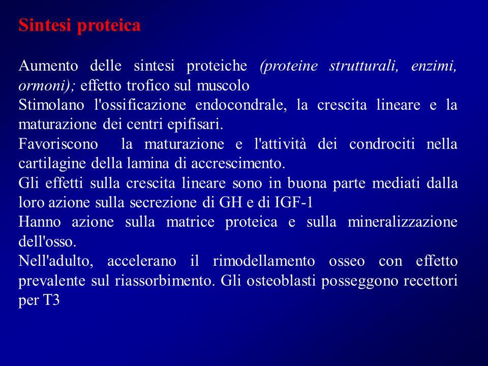Sintesi proteica Aumento delle sintesi proteiche (proteine strutturali, enzimi, ormoni); effetto trofico sul muscolo.