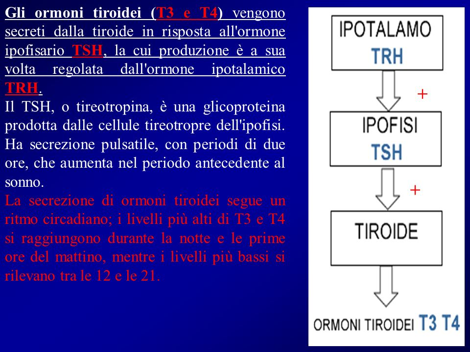 Gli ormoni tiroidei (T3 e T4) vengono secreti dalla tiroide in risposta all ormone ipofisario TSH, la cui produzione è a sua volta regolata dall ormone ipotalamico TRH.