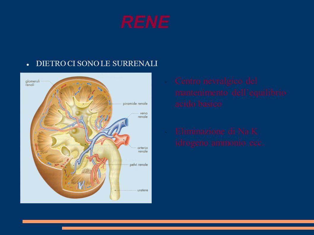 RENE Centro nevralgico del mantenimento dell'equilibrio acido basico