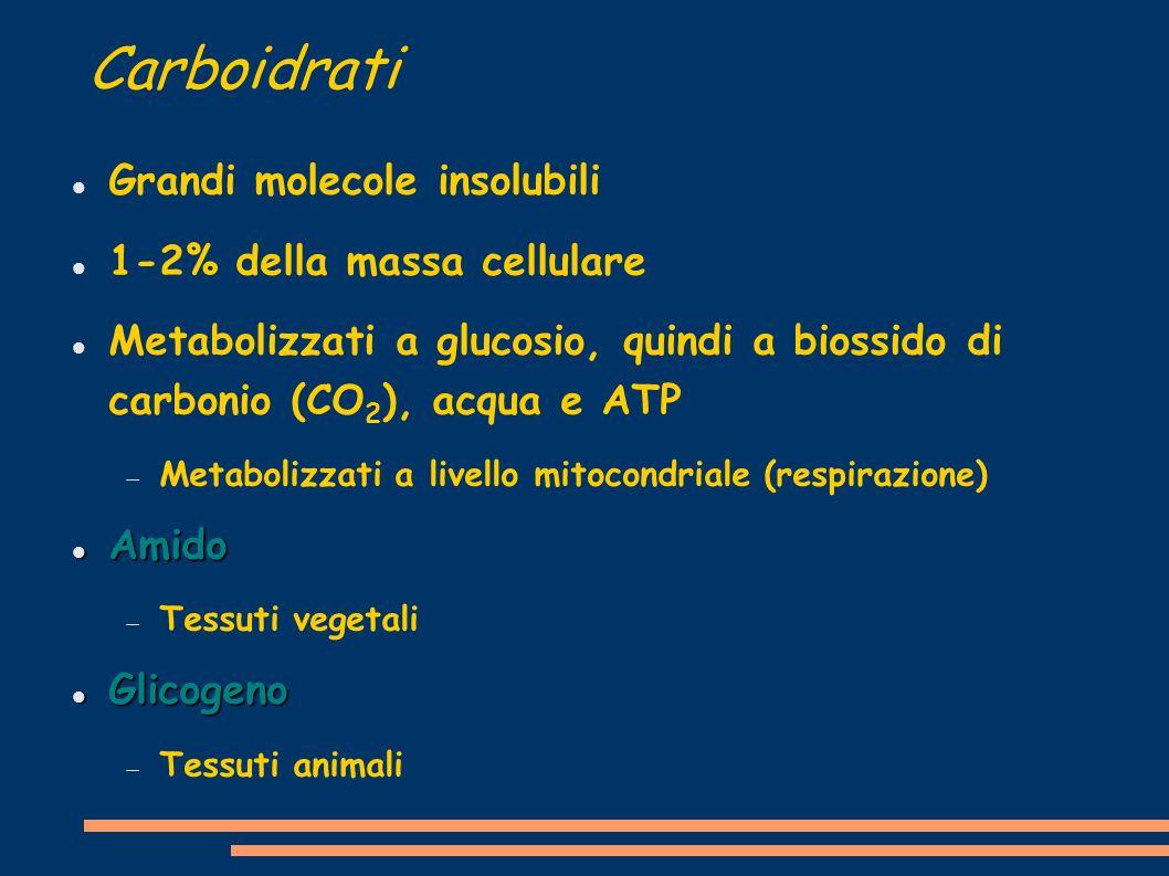 Carboidrati Grandi molecole insolubili 1-2% della massa cellulare