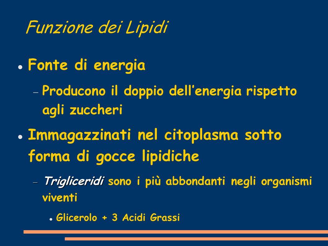 Funzione dei Lipidi Fonte di energia